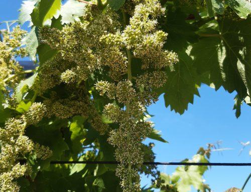 Nel Soave definito il protocollo delle buone pratiche nella gestione viticola